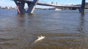 dolphins in the contaminated swan river