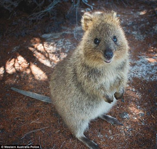 quokka that went for an adventure in a skip bin